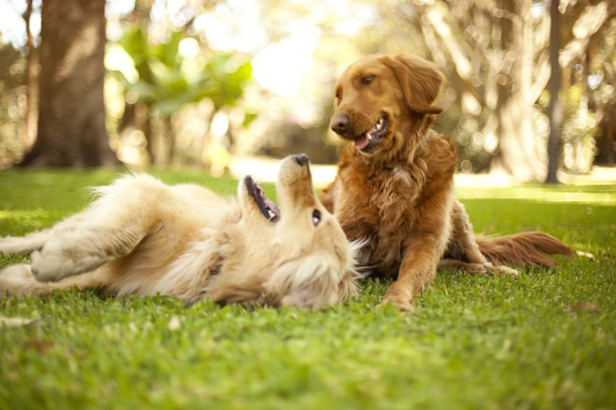 Två hundar leker
