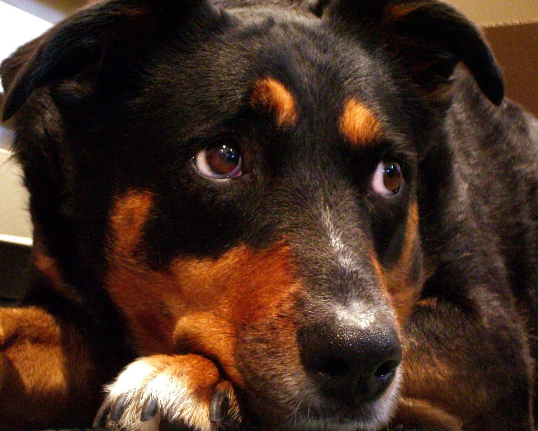 Hunden och pälsfällning